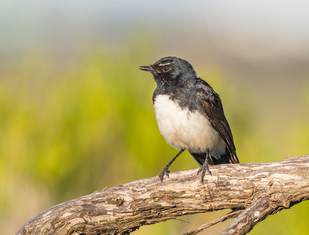 A Willie Wagtail (Rhipidura leucophrys), one of Australias most widespread bird species, photographed at Herdsman Lake in Perth, Western Australia. Stock Photo