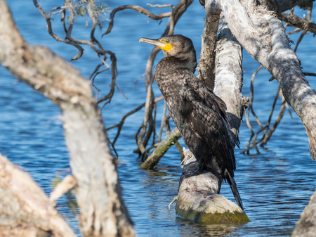 The Great Cormorant (Phalacrocorax carbo) is the largest of the Australian cormorants and is one of the largest in the world. Stock Photo