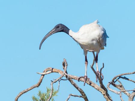 An Australian White Ibis (Threskiornis moluccus) on a tree at Herdsman Lake in Perth, Western Australia Stock Photo