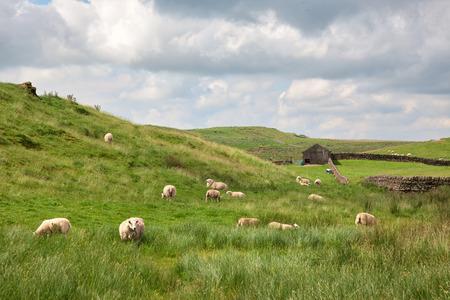 Sheep grazing in a farm near Hadrian's Wall in Northumberland, England. Stock Photo