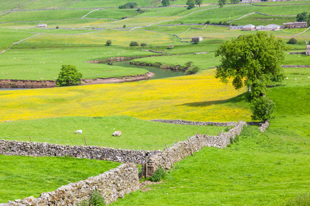 English agricultural landscape in the Yorkshire Dales with a river, sheep, traditional stone walls and a rape crop.