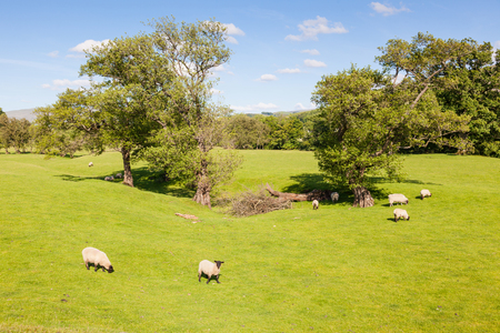 English agricultural landscape in the Yorkshire Dales with trees and sheep.