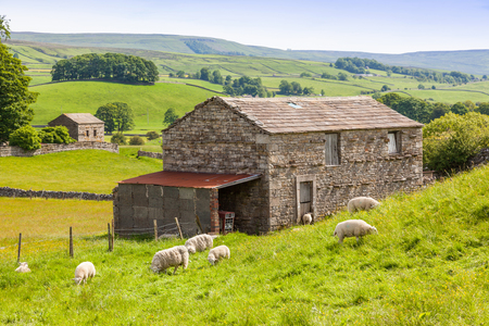 Sheep grazing outside a traditional farm barn in the Yorkshire Dales in England.