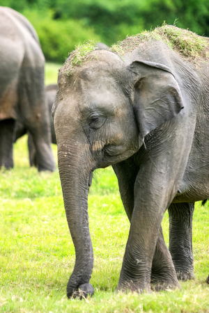 Close-up of a wild Sri Lankan elephant (the largest of four subspecies of the Asian elephant) in the Minneriya National Park in Sri Lanka.