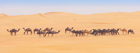 Camels in the Rub al Khali or Empty Quarter. Straddling Oman, Saudi Arabia, the UAE and Yemen, this is the largest sand desert in the world. Stock Photo
