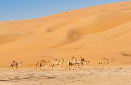 Camels in the Rub al Khali or Empty Quarter. Straddling Oman, Saudi Arabia, the UAE and Yemen, this is the largest sand desert in the world. 免版税图像