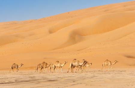 Chameaux dans le Rub al Khali ou quartier vide. À cheval sur Oman, l'Arabie saoudite, les Émirats arabes unis et le Yémen, il s'agit du plus grand désert de sable du monde.