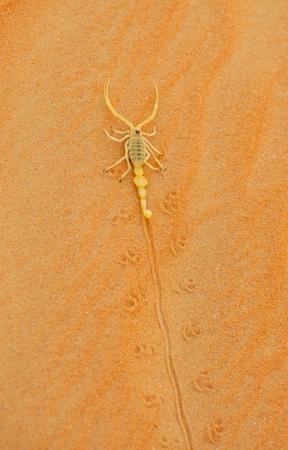 A highly venomous Arabian scorpion, Apistobuthus pterygocerus, leaving its tracks on a sand dune in the Empty Quarter Desert.