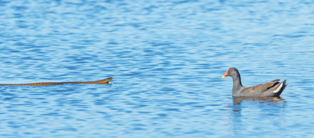 A highly venemous Tiger Snake and a Dusky Moorhen face each other at Herdsman Lake in Perth, Western Australia