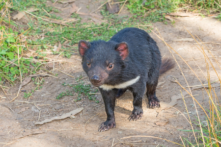 The Tasmanian Devil (Sarcophilus harrisii) is a carnivorous marsupial of the family Dasyuridae. It is now found in the wild only on the island state of Tasmania.