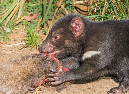 A Tasmanian Devil (Sarcophilus harrisii), a carnivorous marsupial of the family Dasyuridae, feeding on the carcass of a wallaby.