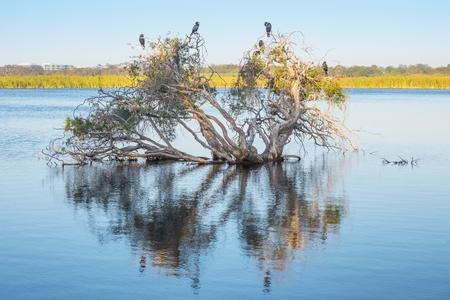 Little Black Cormorants on a submerged paperbark tree at Herdsman Lake in Perth, Western Australia. 스톡 콘텐츠