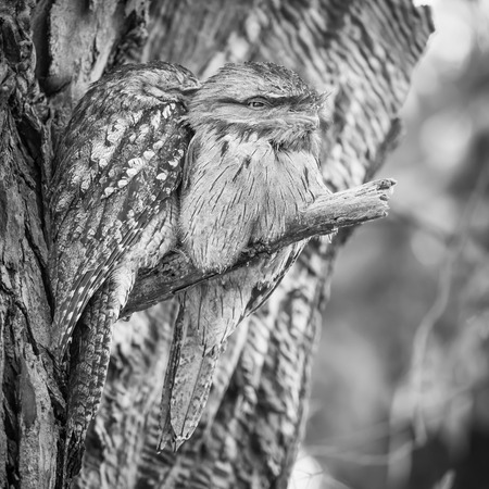 The Tawny Frogmouth (Podargus strigoides) is an Australian species of frogmouth, an iconic type of bird found throughout the Australian mainland, Tasmania and southern New Guinea. It is often mistaken for an owl. 版權商用圖片