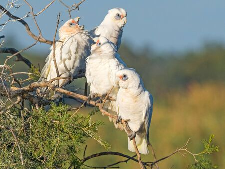 Young Little Corellas begging for food on a tree at Herdsman Lake in Perth, Western Australia.