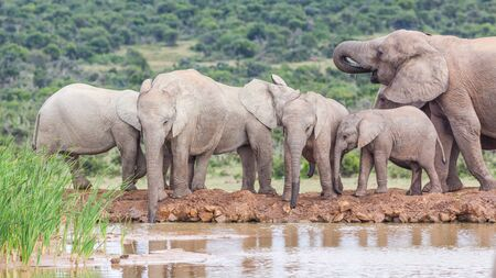 A female and young elephants drinking at Hapoor Dam in Addo Elephant National Park, South Africa. 免版税图像