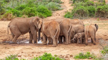 An elephant herd drinking at the Marion Baree Water Hole in Addo Elephant National Park, South Africa.