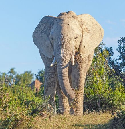 A close encounter with a large elephant in Addo Elephant National Park in South Africa.