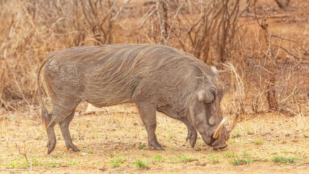 A warthog (Phacochoerus aethiopicus) grazing in the Kruger National Park, South Africa. Stock Photo