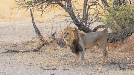 A black-maned lion marking his territory in the Kgalagadi Transfrontier Park, in the Kalahari Desert in Southern Africa.