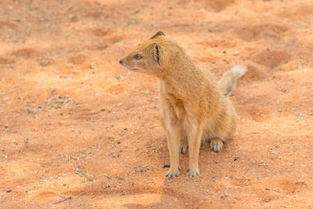 A yellow mongoose in the Kgalagadi Transfrontier Park, situated in the Kalahari Desert in Southern Africa.