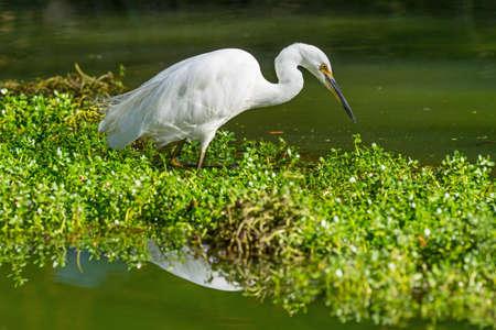 A Little Egret stalking Prey at John Oldham Park in Perth, Western Australia.
