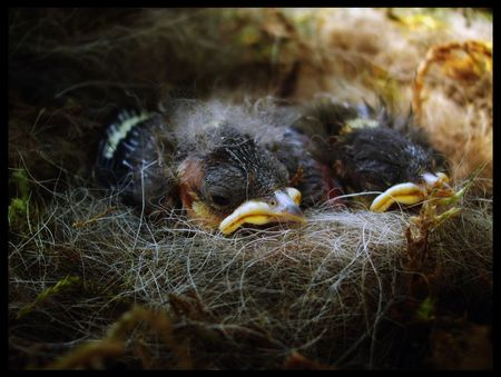 major: Nest - Parus Major  birds