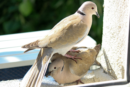 side viewing: Picture of two doves playing at the window