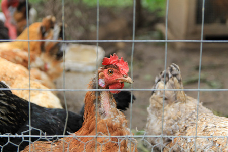 Chickens behind a wire fence Stock Photo