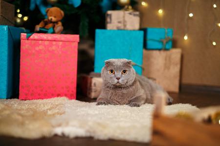 scottish straight: Scottish Straight christmas kitten