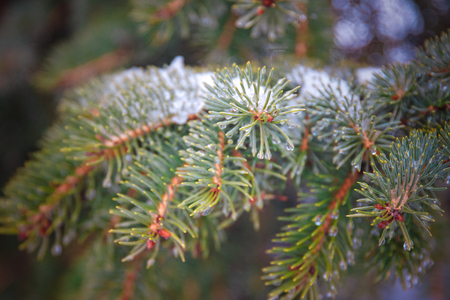 Spring comes. Branch of a coniferous tree with drops, snow. macro. shallow depth of field 写真素材