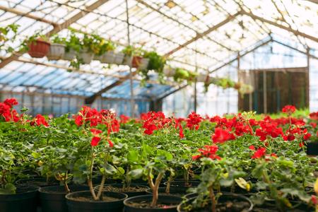 Red geranium pelargonium in greenhouse of botanical garden. Selective focus. Stock Photo