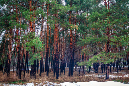 View of winter coniferous forest. Ukraine Slovyansk