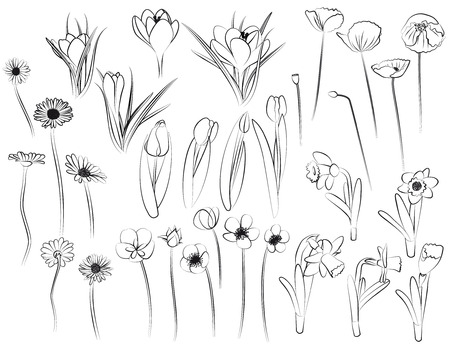 crocus: Flowers - line art