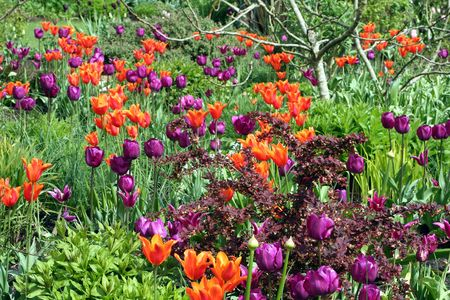 Mauve & Red Tulips Stock Photo - 515516