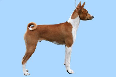 Stacked Basenji puppy Stock Photo