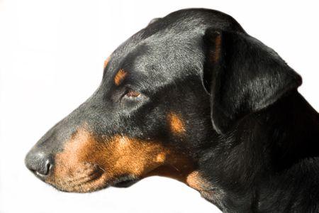 Doberman Portrait Stock Photo