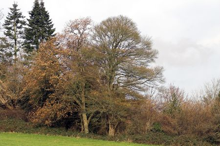Deciduous trees surmounted by conifers photo