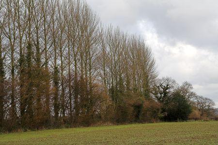poplars: Row of Poplars along field sown for spring harvest