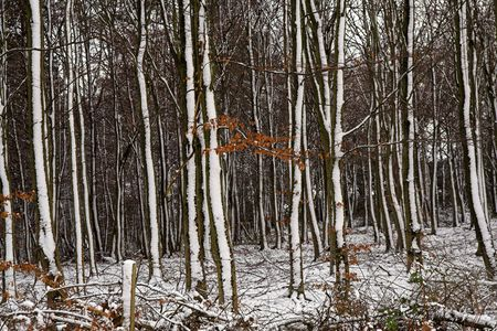 keepout: Forest in Snow - snow remaining on the northern side of the trees Stock Photo