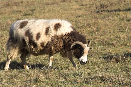 ovine: Jacob sheep, full fleece and slightly dirty