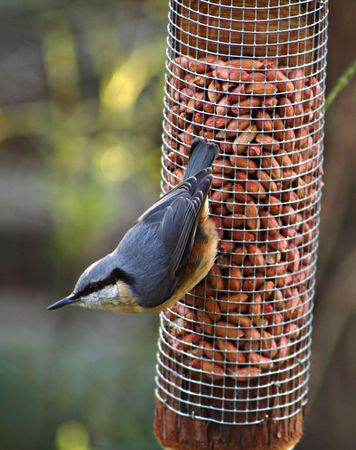 Nuthatch at the moment of leaving the peanuts