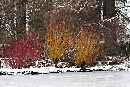Three dogwood bushes against the snow of a frozen lake
