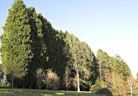 phalanx: Phalanx of Fir trees marching behind early flowering deciduous trees