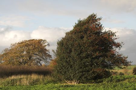 prevailing: Holly bush, windswept and moving in rough weather - its growth impeded by prevailing winds