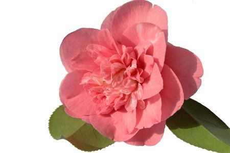 Double pink and white camellia with its own leaves upside down