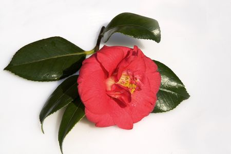 Camellia on a bed of shiny leaves on a satin-finished dish Stock Photo - 849970