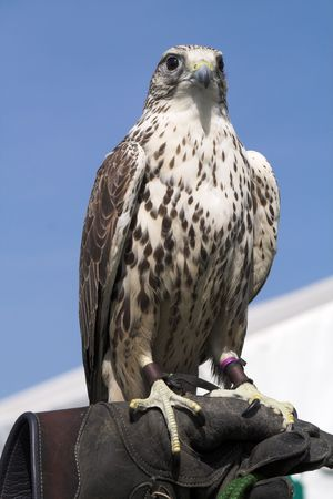 Hawk perched on the heavy gauntlet of his handler
