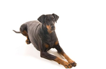 Relaxed Doberman watching attentively for a command