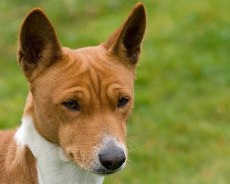 Dog looking thoughtfully into the middle distance Stock Photo