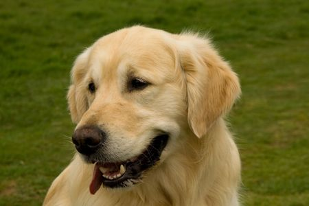Head of a magnificent Golden Retriever with his tongue out of the side of his mouth